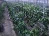 Δίχτυα αναρρίχησης φυτών κηπευτικων